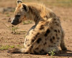 Spotted Hyena sitting