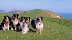 https://flic.kr/p/TxFkt3 | Perfect Shelties | So let me get this straight......You woke me early this morning.....Made me rush my mug of tea....But gave me no time to eat breakfast.......... So you could rush me out on our morning walk........Which has led us to be standing in the middle of nowhere..... In some green daisy filled field with a deep blue sea view......Overlooking  some beautiful rolling cliff tops that have a gentle Atlantic Ocean South Westerly sea breeze skimming over them…