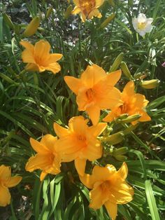 "Daylilies,12-24"", One of the most popular perennials in existence.  No garden should be without.  Available in a wide array of colors.  Extend your flowereing time by combining cultivars.  Blooms in summer."