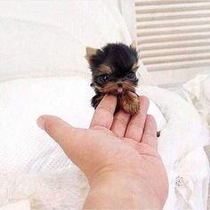 26 Teeny Tiny Puppies Guaranteed To Make You Say Awww! Question: Who loves tiny puppies? Correction: Everyone! Everyone loves tiny puppies! Baby Animals Super Cute, Cute Baby Dogs, Cute Little Animals, Cute Funny Animals, Cute Babies, Tiny Baby Animals, Little Dogs, Cute Small Dogs, Funny Dogs