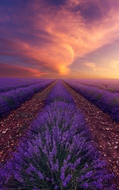 Sensual Fire   sunset falls upon a lavender field, Provence, France by Alexandre Ehrhard