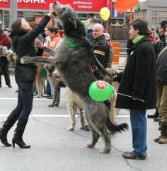 Favorite dog ever! Irish Wolfhound. I will own one of these before I die!