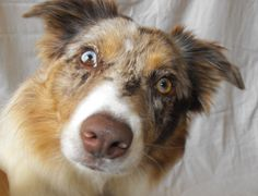Border Collie - red merle with double heterochromia, by Quizillafreak, on Wikipedia Red Merle Border Collie, Border Collies, Border Collie Pictures, Animal Intelligence, Smartest Dogs, Different Colored Eyes, Herding Dogs, Cat Dog, Dog Eyes