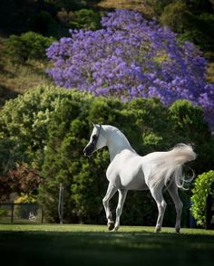 White horse and purple flowering tree.