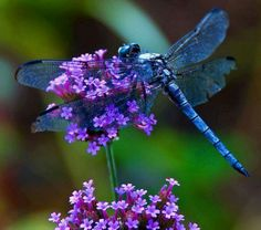 blue to purple dragonflies