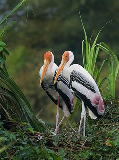 The Painted Stork is a large wading bird in the stork family. It is found in the wetlands of the plains of tropical Asia south of the Himalayas in the Indian Subcontinent and extending into Southeast Asia.  Scientific name: Mycteria leucocephala
