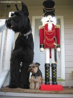 Giant and miniature schnauzer in the Christmas spirit                                                                                                                                                                                 More