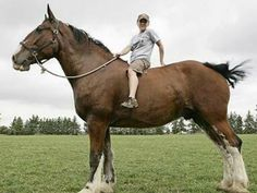 """Clydesdales, best """"bareback"""" riding ever :)"""
