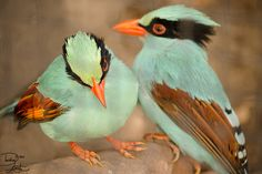 Green Corvids by ~DeeOtter:)