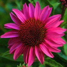 Zonnehoed 'Gemini Pink' (Echinacea 'Gemini Pink')   MijnTuin.org