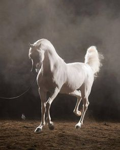 Arabians: the spoiled fashion bitches of the horse world. Beautiful Arabian Horses, Most Beautiful Horses, Majestic Horse, Pretty Horses, Horse Love, Animals Beautiful, White Arabian Horse, Horse Photos, Horse Pictures