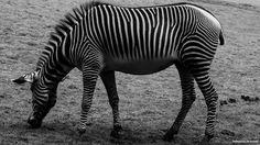 Zebra by Arnaud JEANNE on 500px