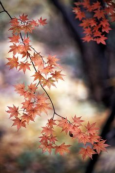 Red maple leaves - fall/autumn