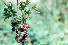 Evergreen Blackberry - Rubus laciniatus Evergreen, Blackberry, Fruit, Tattoos, Flowers, Plants, Tatuajes, The Fruit, Tattoo