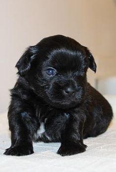 Shorkie Talk - My baby Loyal at 6 weeks!