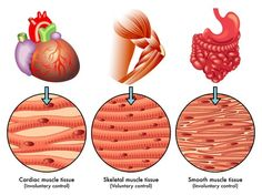type of muscle tissue tissue types study guide alyvea