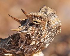 Horned Lizards can be found at many New Mexico State Parks
