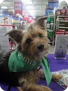 Akron, OH - Yorkie, Yorkshire Terrier. Meet Corky, a dog for adoption. http://www.adoptapet.com/pet/15512250-akron-ohio-yorkie-yorkshire-terrier