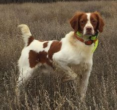 Brittany Spaniel Puppies, Spaniel Puppies For Sale, Yellow Lab Puppies, Dogs For Sale, Large Dog Breeds, Hunting Dogs, Dog Portraits, Cute Animals, Labrador Puppies