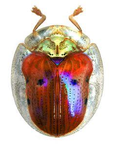 Charidotella sexpuntata                                                                                                                                                                                 More