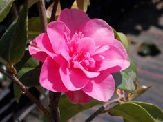 Camellia Pink Double.