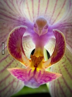 The moth orchid looks like a bird flying toward you