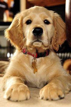 dog Golden Retriever Dogs Puppy Hound Pups Dog Puppies