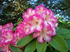 Hirsutum.info -- Rhododendron Hybrids/cultivars: 'Consolini's Windmill'