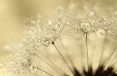 Amazing Macro Shots of Dew-Soaked Dandelions