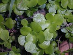 """""""Wild stonecrop (Sedum ternatum)"""""""