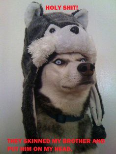 husky photobomb - Google Search