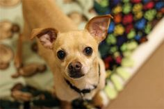 Click through to learn more about Trombone, a four year old Chihuahua mix available for adoption at @pawschicago