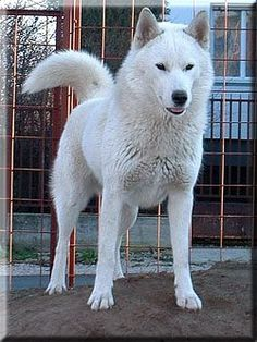 White Husky wouldnt mind one of these too... summer would love it!