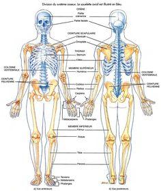 LES DIVISIONS DU SYSTÈME OSSEUX Yoga Anatomy, Human Anatomy, Anterior Y Posterior, Nurse Party, Skeleton Anatomy, Web Design Awards, Nursing School Notes, Medical School, Accupuncture