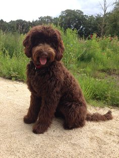 Tess Australian labradoodle 6 months old