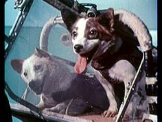 Soviet space dogs Belka and Strelka, the first earth-born creatures to go into orbit and return alive, after their successful mission aboard Sputnik 5 on 19 August Belka And Strelka, Space Hero, Dog Suit, Space Travel, Silent Film, Space Exploration, Life Photo, Character Illustration, Guinea Pigs