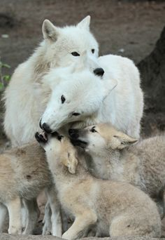 Wolf Family--they are loyal lifelong mates and devoted parents--female siblings of the alpha female will even become nursemaids to the alpha pups while the pair is away hunting--by j.a.kok on flickr