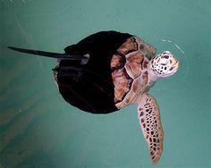 inspiring animals that use prosthetics_Allison the green sea turtle