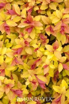 Spirea japonica 'Magic Carpet' - chartreuse spring, redish gold with pink flower in summer, russet in fall