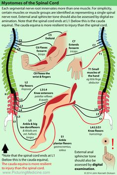 Pin by Lulalu on Anatomie/diseases Physical Therapy School, Hand Therapy, Massage Therapy, Muscle Anatomy, Body Anatomy, Nerve Anatomy, Spine Health, Medical Anatomy, Human Anatomy And Physiology