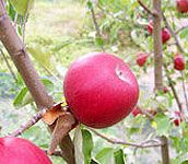 The best time to prune apple trees is in late winter or very early spring before any new growth starts.    The only growth you ever want to prune or remove during the summer months, when the tree is actively growing, is a sucker.