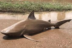 Uno+squalo+spinto+sulla+strada+dal+ciclone+Debbie