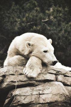 Oh Polar Bear. by (Jayanth Kommidi) Nature Animals, Animals And Pets, Baby Animals, Cute Animals, Wild Animals, Baby Giraffes, Pretty Animals, Beautiful Creatures, Animals Beautiful