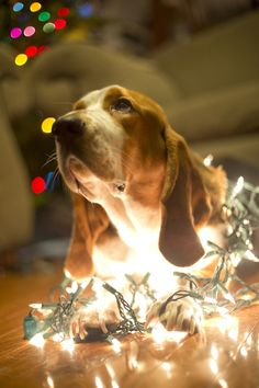 Christmas Basset! Awwwwwwwww....sooooooo beautiful!!!