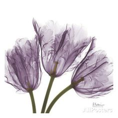 Tulips Purple Trio Art Print by Koetsier, Albert 33 x 33cm Wall Decor Art Prints