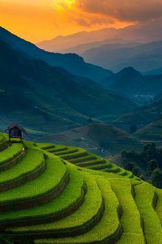 A rice field in Vietnam