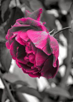 Gulab Red Rose