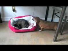 Funny Cats Stealing Dog Beds Very Hilarious! You Guys Wont Stop Laughing! Funny Dogs, Funny Animals, Cute Animals, Perros Pit Bull, Sleeping Dogs, Cat Love, Cats And Kittens, Kitty Cats, Animal Pictures