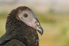 Jote cabeza Negra Coragyps atratus, Se extiende desde el sur de los Estados Unidos hasta el sur de Sudamérica.