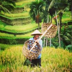 Rice farmer in Ubud Bali